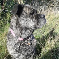 Cookie, chien Dogue de Majorque
