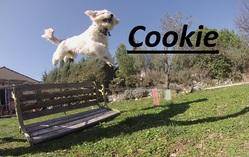 Cookie, chien Coton de Tuléar