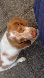 Cookie, chien Épagneul breton