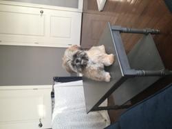 Cookie, chien Shih Tzu