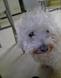 Cookie, chien Bichon à poil frisé