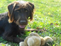 Syrah, chien