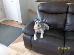Cookie, chien Schnauzer