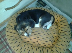 Cookie, chiot Beagle