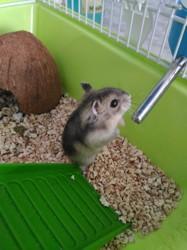 Cookie, rongeur Hamster