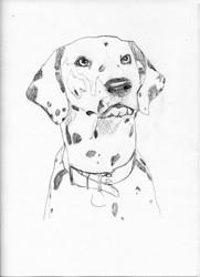 Cookie, chien Dalmatien