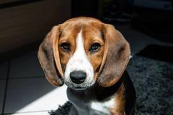 Cookie, chien Beagle
