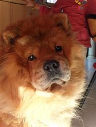 Cookie, chien Chow-Chow