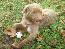 Cookie, chien Griffon à poil dur Korthals