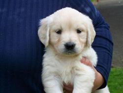 Cookie, chien Golden Retriever