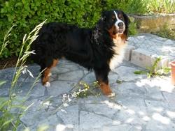 Cookie, chien Bouvier bernois