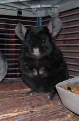 Cookie, rongeur Chinchilla