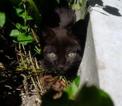 Cookie Petit Grain, chat Européen