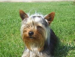 Cookies, chien Yorkshire Terrier