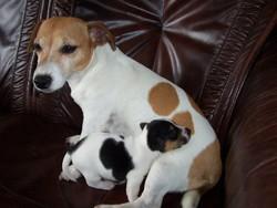 Cookies, chien Jack Russell Terrier