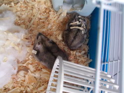 Cookis,granola, rongeur Hamster