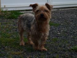 Cooky, chien Yorkshire Terrier