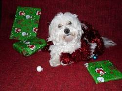 Cooky, chien Bichon maltais