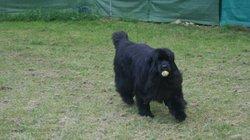 Cooky, chien Terre-Neuve