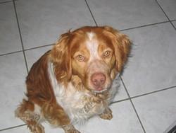 Cooky, chien Épagneul breton