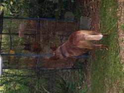 Cooky, chien Bouvier d'Australie