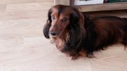 Cooky, chien Bouledogue français