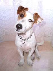 Cooky, chien Jack Russell Terrier