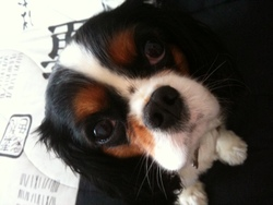 Cooky, chien Cavalier King Charles Spaniel