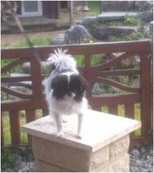Cooky, chien Épagneul japonais