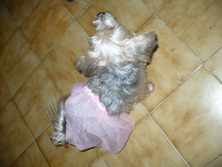 Cookye, chien Yorkshire Terrier