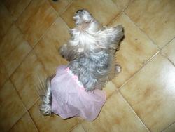 Cookye, chien Yorkshire Terrier