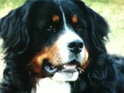 Cool, chien Berger australien