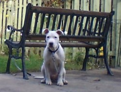 Cool, chien American Staffordshire Terrier