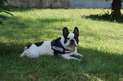 Cooper, chien Bouledogue français