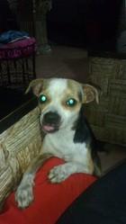 Cooper, chien Chihuahua