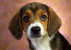 Cooper, chien Beagle