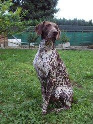 Cooper, chien Braque allemand à poil court