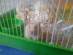 Cooper, rongeur Hamster