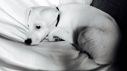 Cooper, chien Jack Russell Terrier
