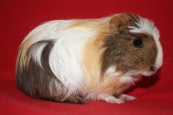 Cooper, rongeur Cochon d'Inde