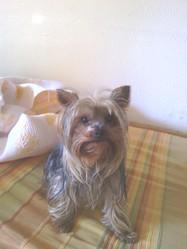 Cooper, chien Yorkshire Terrier