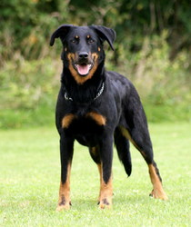 Roucky, chien Beauceron