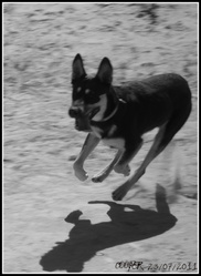 Cooper, chien Beauceron