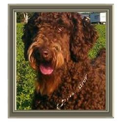 Coorsie, chien Caniche