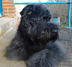 Copado, chien Bouvier des Flandres