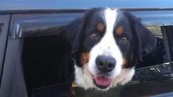 Copine, chien Bouvier bernois