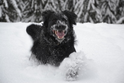 Copo, chien Flat-Coated Retriever