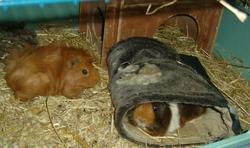 Copperpot, rongeur Cochon d'Inde