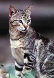 Coquerelle, chat Sokoke