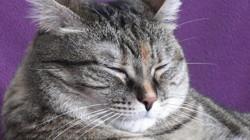 Coquette, chat Européen